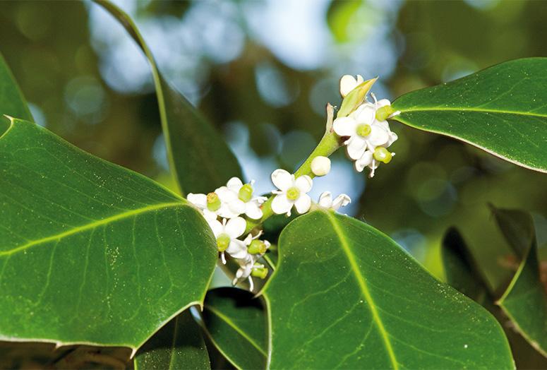 Ilex-meserveae-blue-maid-flower