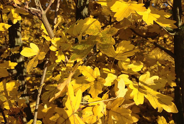 acer-campestre-autumn