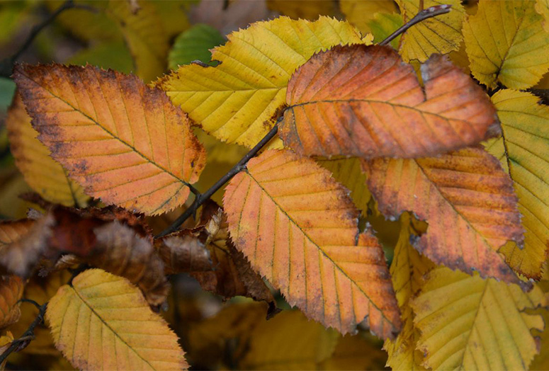 carpinus-betulus-autumn