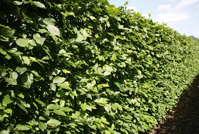 carpinus-betulus-summer