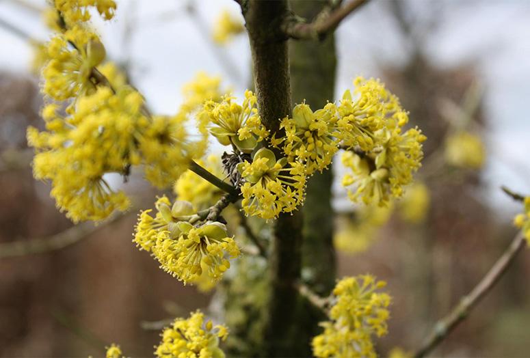 cornus-mas-flower
