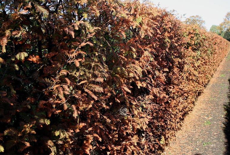 metasequoia-glyptostroboides-autumn