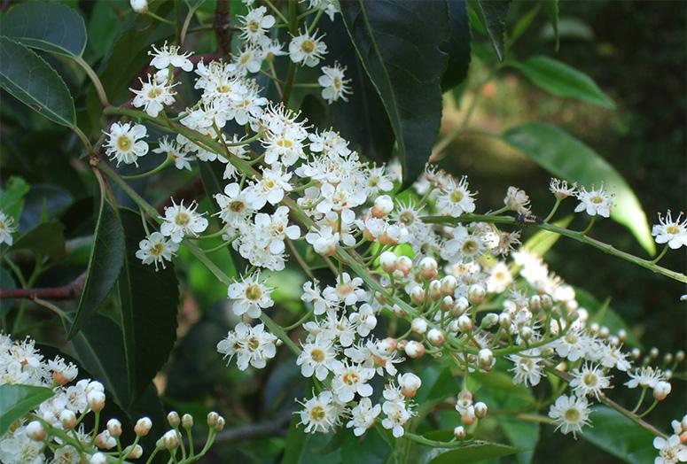 prunus-lusitanica-angustifolia-flower