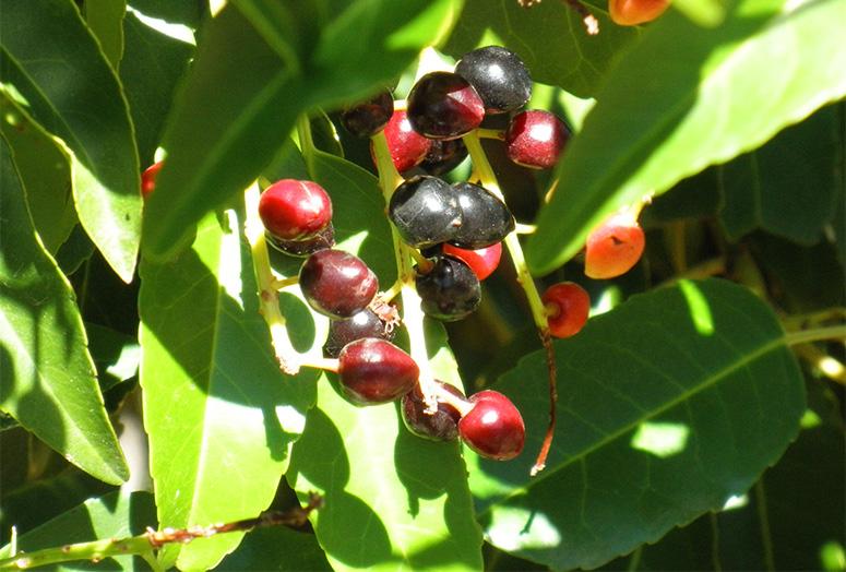 prunus-lusitanica-angustifolia-fruit