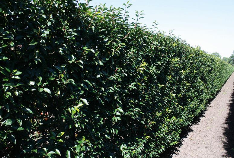 prunus-lusitanica-angustifolia-summer